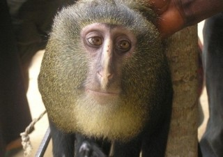 animali-strani-scimmia-volto-umano